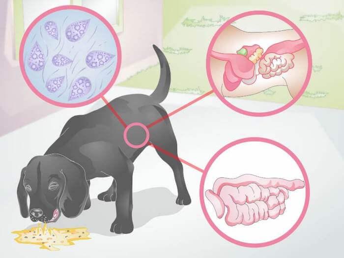 Собаку рвет после еды непереваренной пищей