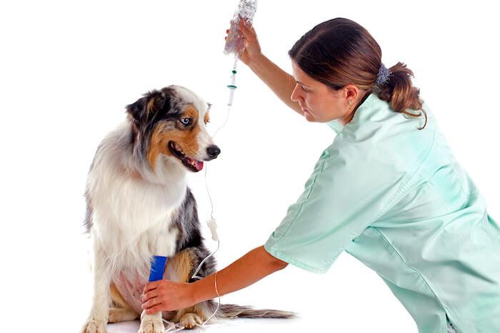Заболевание поджелудочной железы у собак - Панкреатит