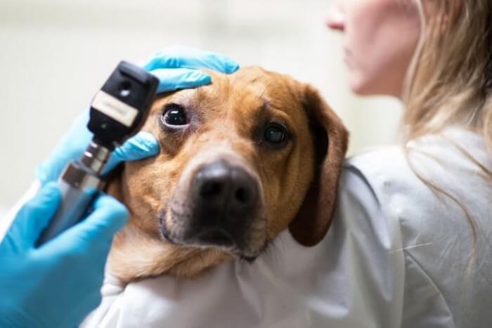 У собаки воспалился глаз чем лечить