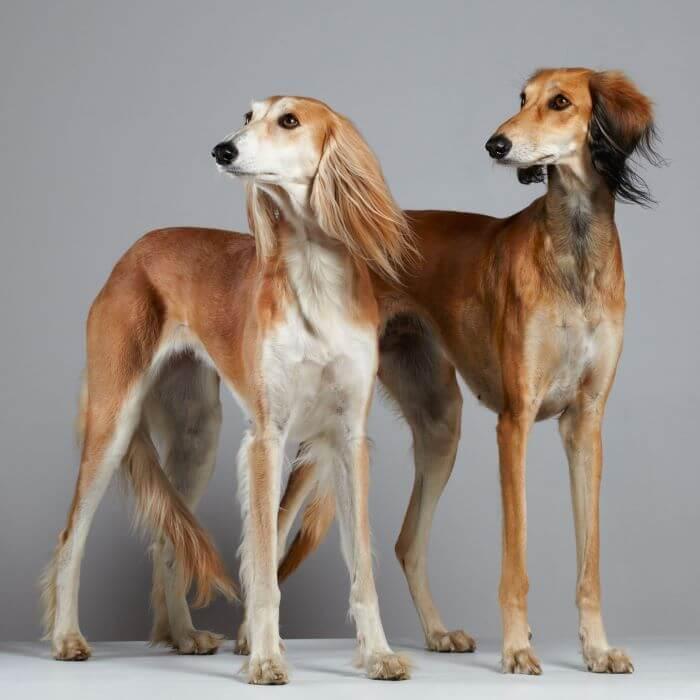 салюки собаки коричневые