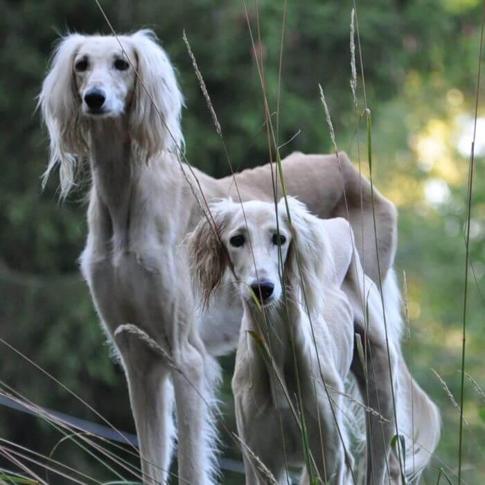 салюки две собаки