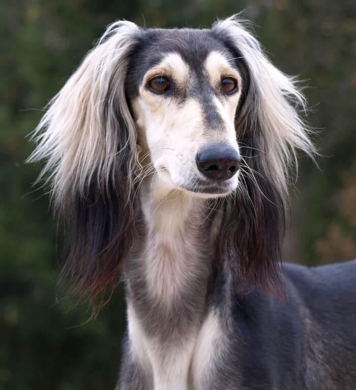 салюки собака черная
