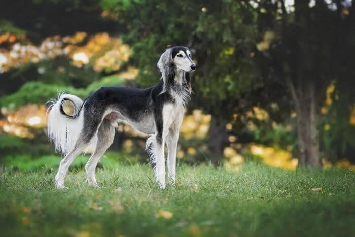 салюки порода собака