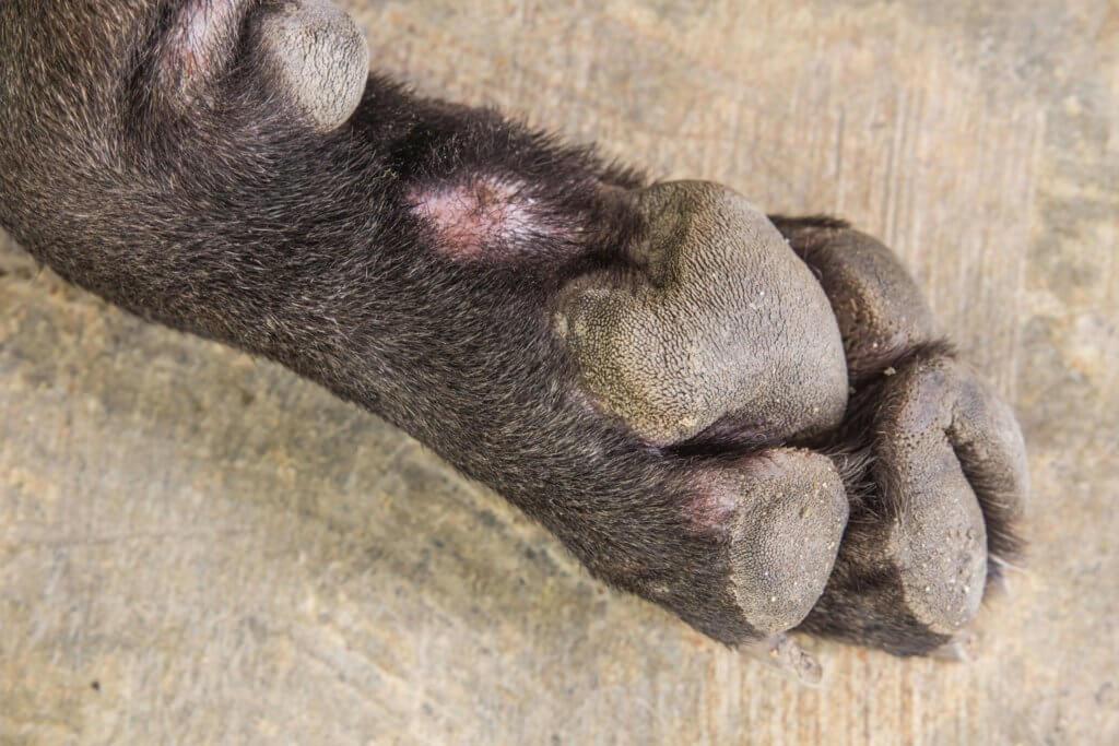 больная лапа у собаки