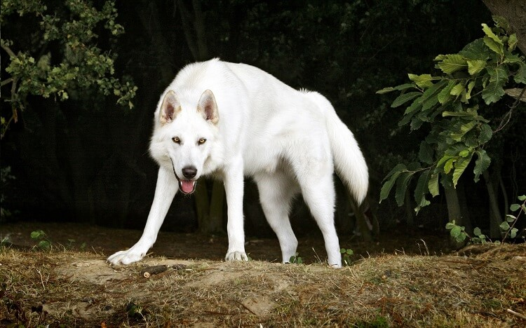 северный инуит белый