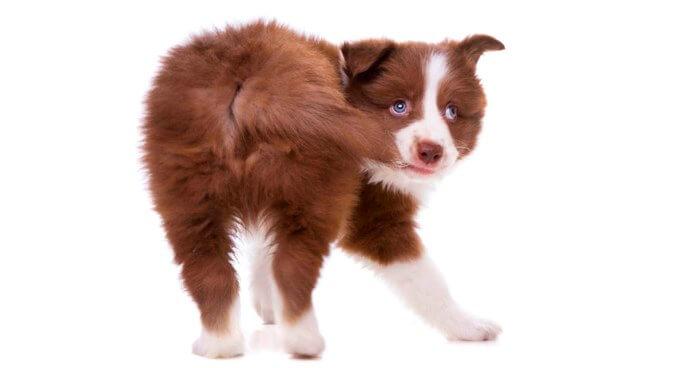 Гепатоидные железы у собак (анатомия)