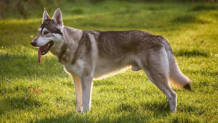 северная инуитская собака